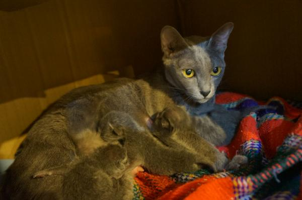 korat cat kittens3
