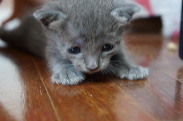 koratcat kittens1