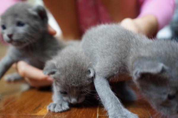 koratcat kittens5