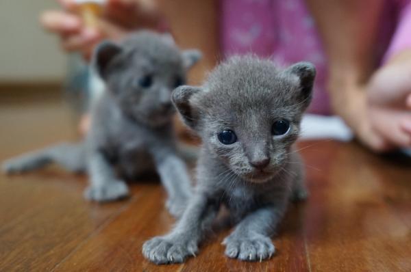 koratcat kittens6