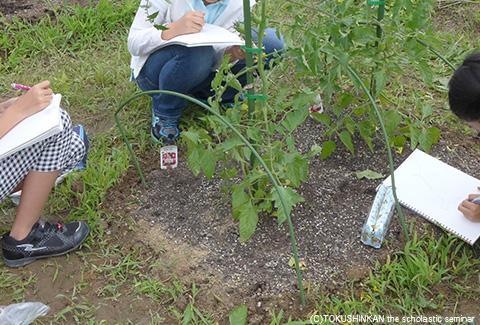 トマトの観察2015a