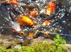 鯉の売れ食い? 山寺常山の山寺常山邸の池の鯉たちをデジカメ写真撮影った