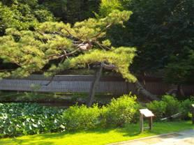 山寺常山邸の芸術的に見えた大きな松の木を写真撮影