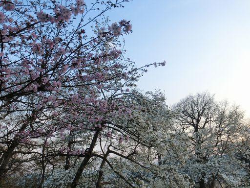 cherry blossoms&kobushi 1