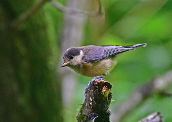 ヤマガラ幼鳥1 -055