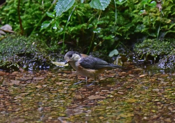 ヤマガラ幼鳥3 -020