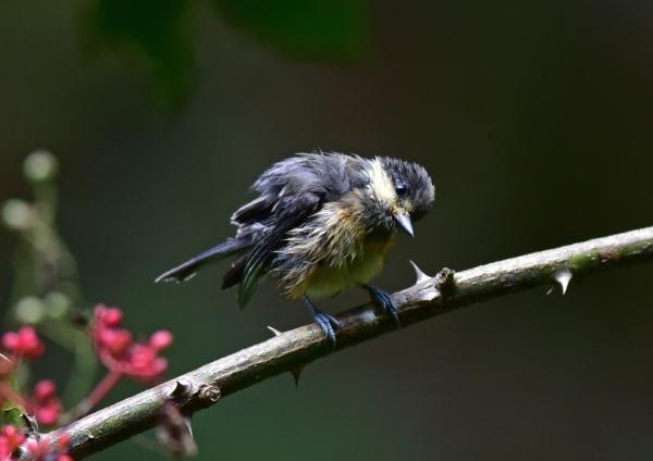 ヤマガラ幼鳥5 -030