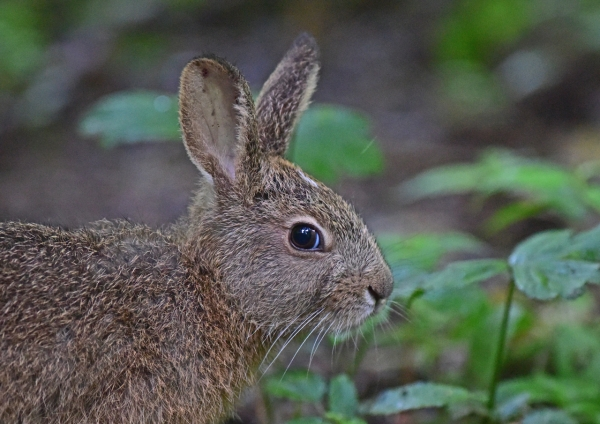 ノウサギ1-019
