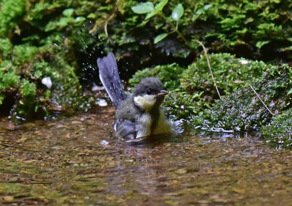 シジュウカラ幼鳥3 -075