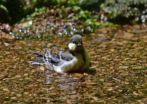 シジュウカラ幼鳥4 -087