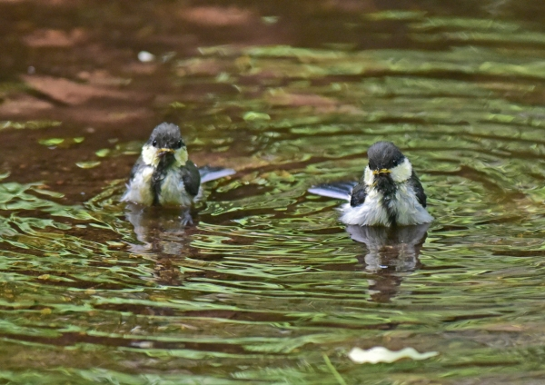 シジュウカラ幼鳥5 -062