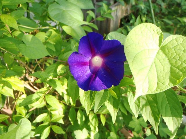 朝顔紫20150815