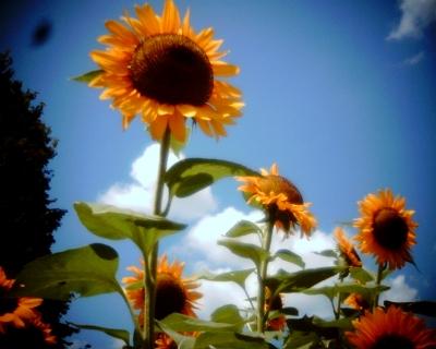 太陽を仰ぐヒマワリ・昭和記念公園:Entry