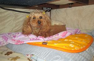 コタツの住犬 Rose