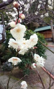 咲き始めの梅2