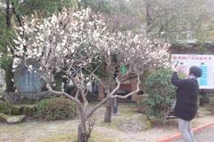 咲き始めの梅3