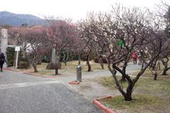 咲き始めの梅4
