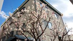 10日の桜1