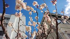 10日の桜2