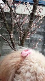 7日の桜2