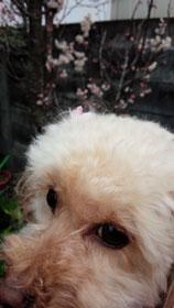 7日の桜3