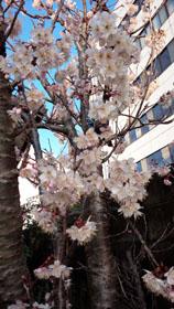 9日の桜1