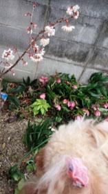 9日の桜2