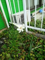 150814_今年のお庭