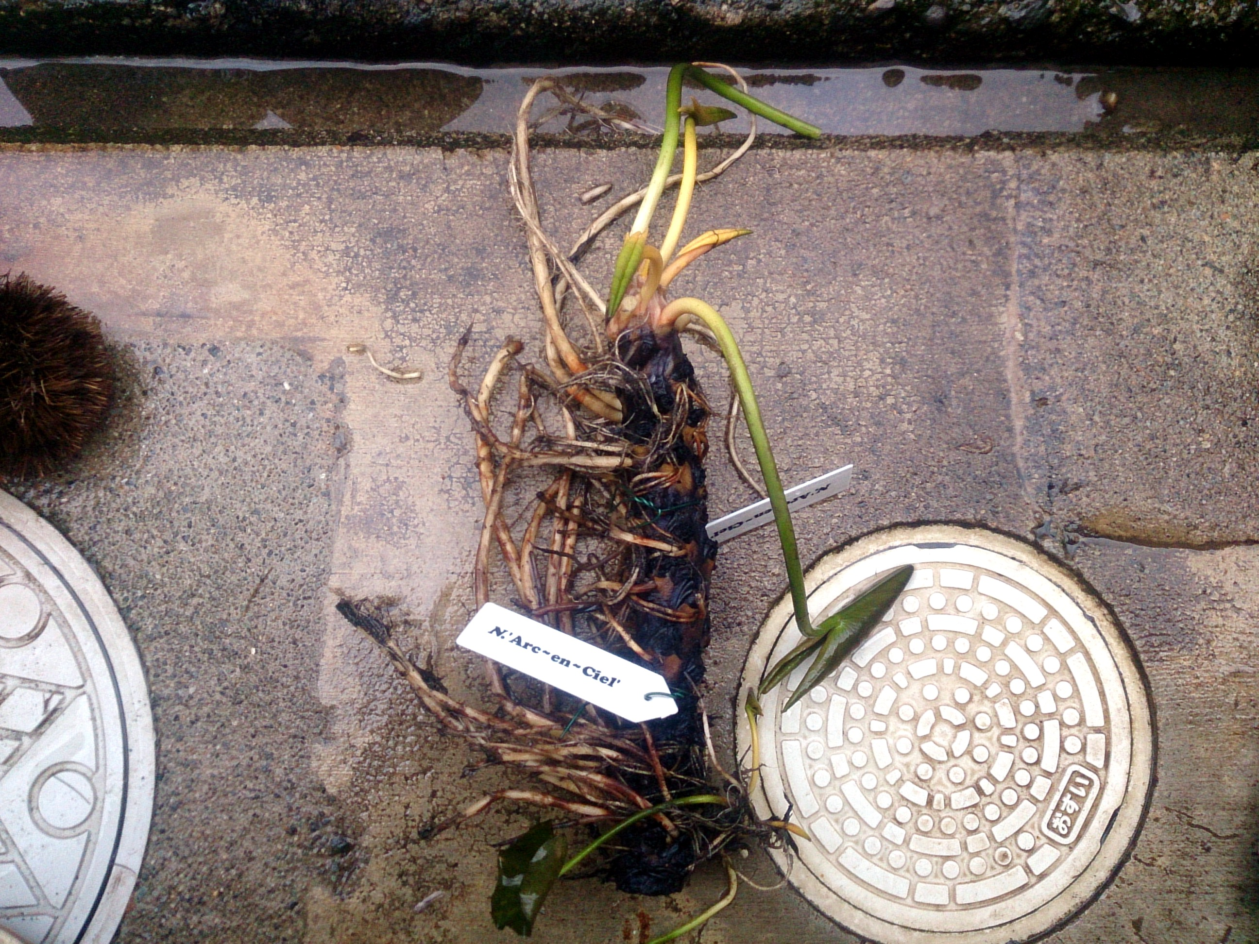 HardyWaterlilyReplanted_20150305-04-01.jpg
