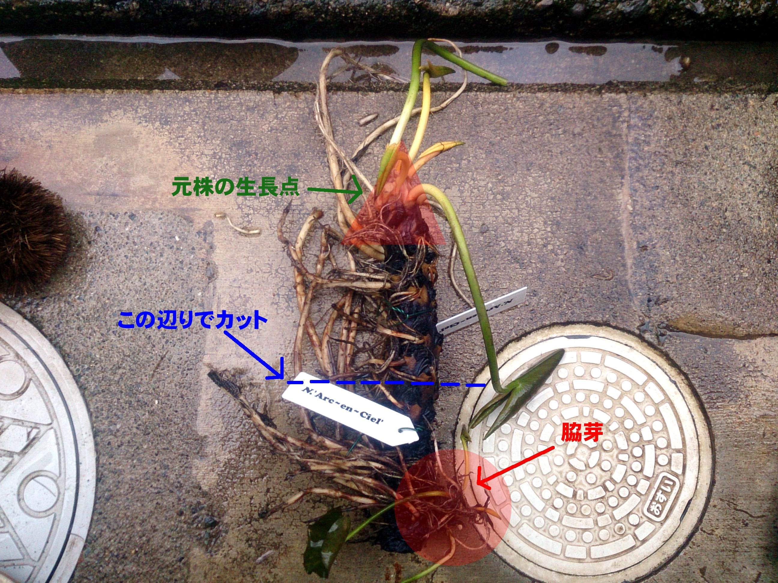 HardyWaterlilyReplanted_20150305-04-02.jpg