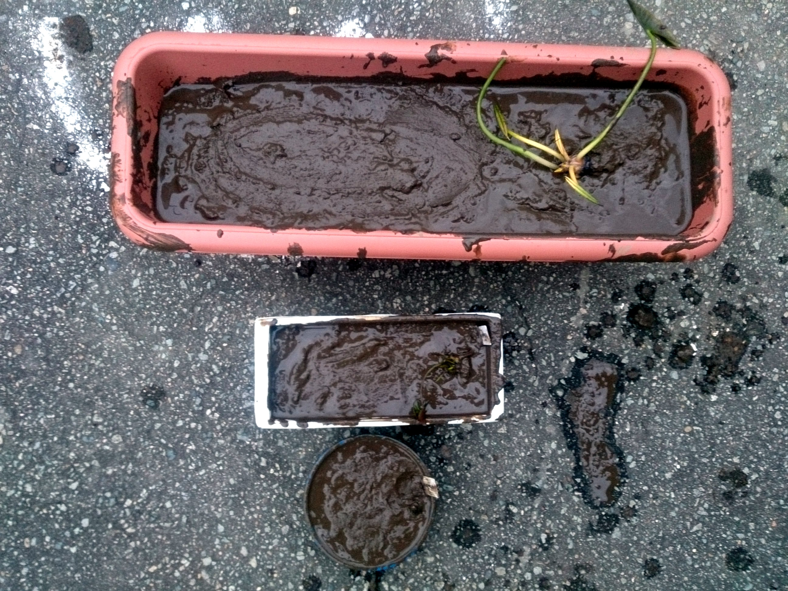 HardyWaterlilyReplanted_20150305-12.jpg