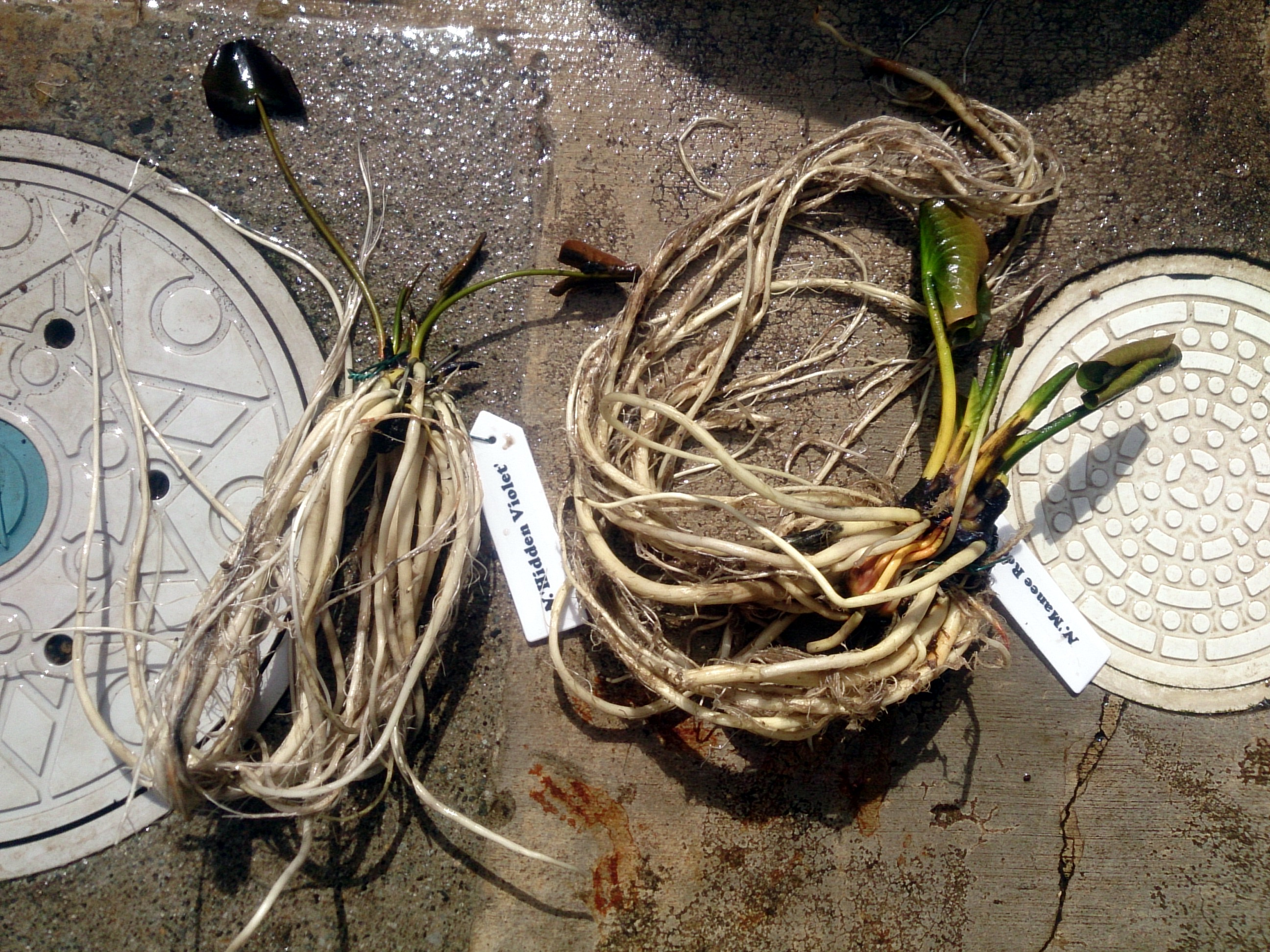 WaterlilyReplant_20150228-04.jpg