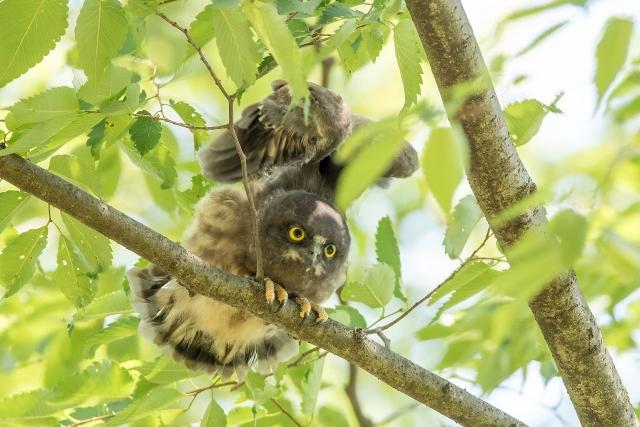 アオバズク幼鳥