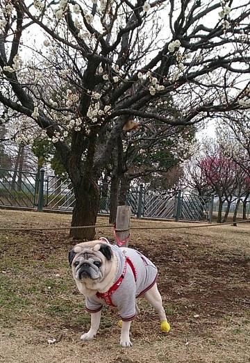 これもK公園の梅とチッチ