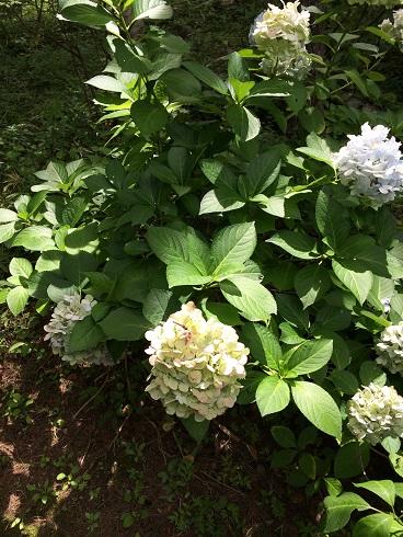 150819紫陽花