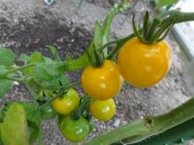 うす皮鈴なりきんかんトマト