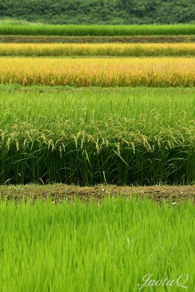 稲の彩り201501