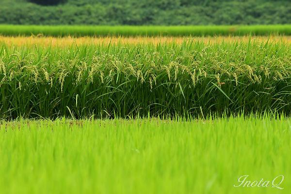 稲の彩り201502