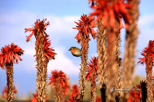 アロエの花と目白
