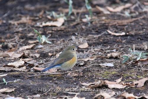 ルリビタキ幼鳥雄