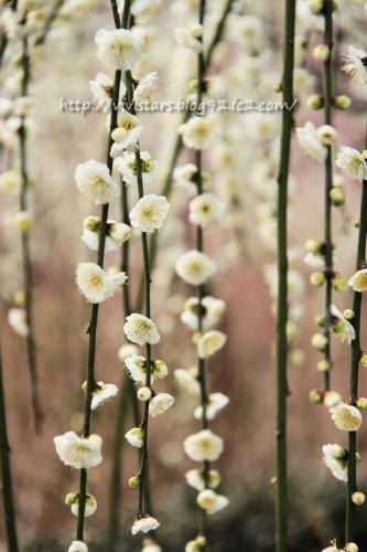梅の花暖簾