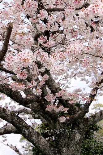 島田 帯桜01
