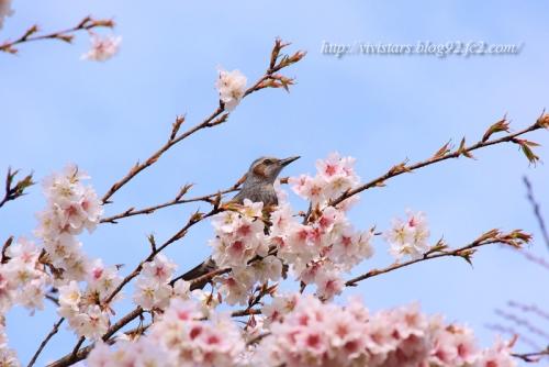 ヒヨリンと帯桜