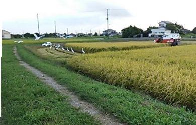 散歩道の稲刈り風景