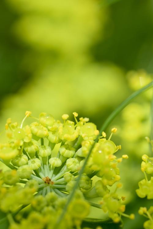 ディルの花