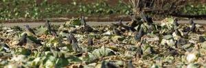 179キャベツ畑のヒヨ
