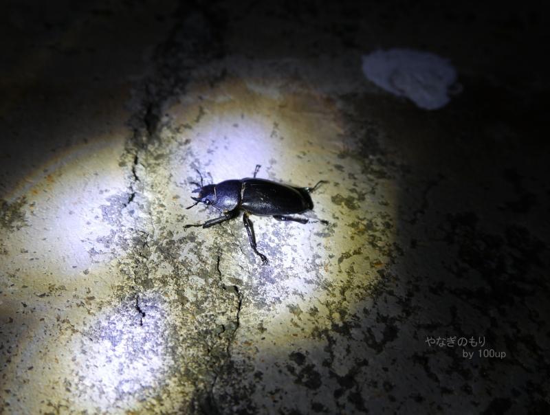 2015年8月5日撮影 新潟県街灯採集2