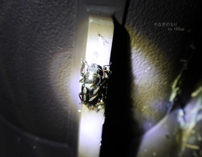 2015年8月5日撮影 新潟県街灯採集4