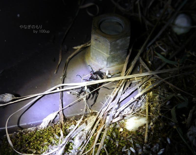 2015年8月5日撮影 新潟県街灯採集5