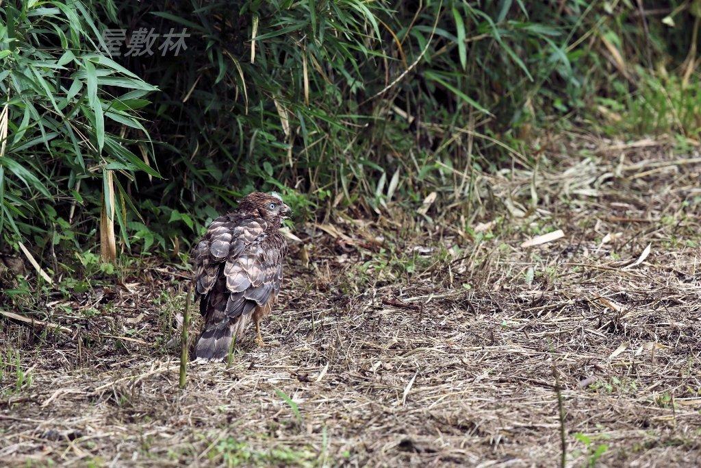 オオタカの幼鳥